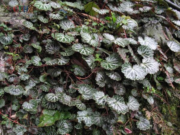 虎耳草_虎耳草植物图片