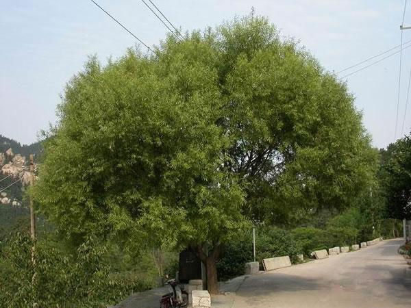 孩子们画树总是先画一根直直的树杆,再画上一个圈,再添上几根树枝