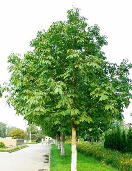 用途:   七叶树树干耸直,树冠开阔,姿态雄伟,叶大而形美,遮荫效果