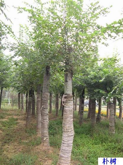 朴树_朴树植物图片_朴树植物库-中国苗木信息网