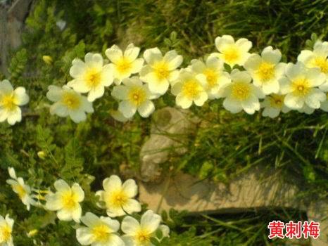 黄刺梅_黄刺梅植物图片