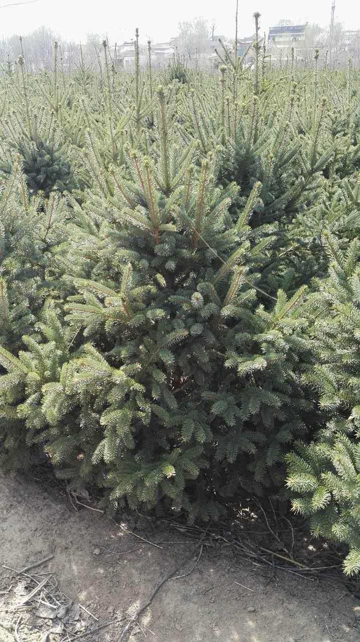 灌木 绿化苗木 苗 苗木 树 植物 719_1280 竖版 竖屏